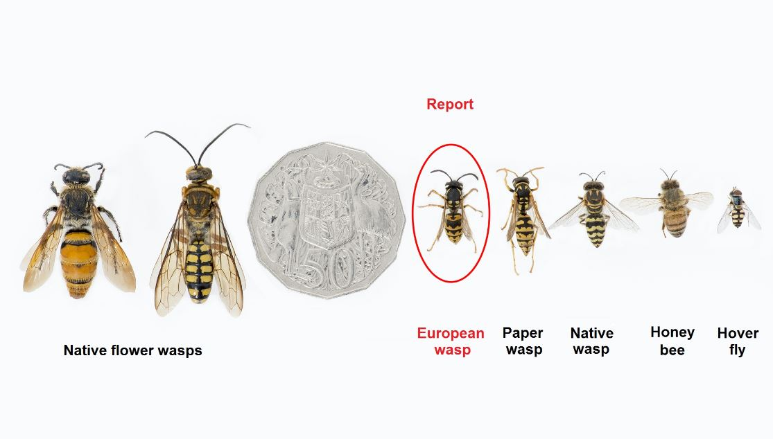 Wasps, Bees, Locusts and Fruit Fly - Murrindindi Shire Council