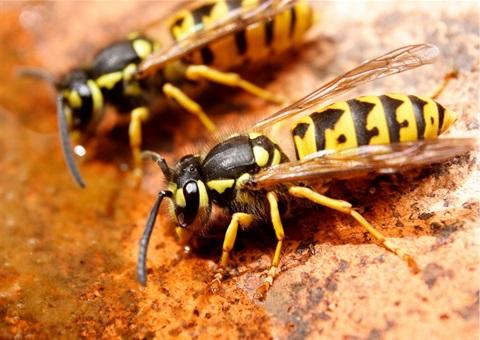 European wasps.jpg