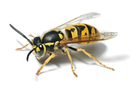 European_Wasp_-_Full_Body_Picture.jpg